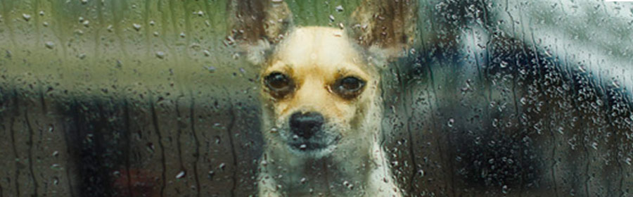 Image of dog through a rain covered window